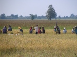 It's harvest time in the rice fields.