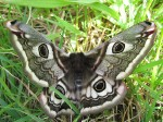 Female_Emperor_Moth_-_geograph.org.uk_-_790824